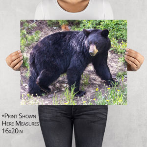 Bear Walking Through Two Medicine Photo Print
