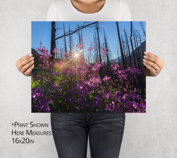 Fireweed Sun Burst Photo Print