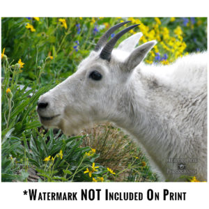 Goat Eating Near Logan Pass Photo Print